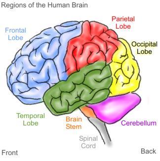 Copy of Brain_Witelson